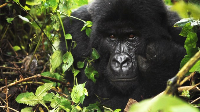 virunga silverback mountain gorilla