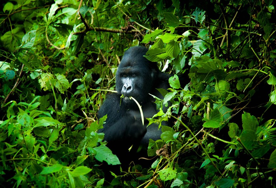 Mountain Gorilla at the Virunga National Park